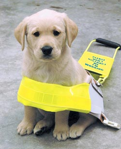 puppy guide dogs for the blind association