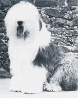 old Old English Sheepdog Old English Sheepdog Kent