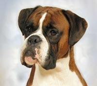 Boxer Dog - Our Dogs Magazine - Pedigree Dog Breeder