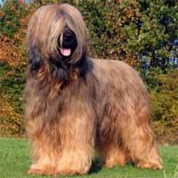 Briard Dog Our Dogs Magazine Pedigree Dog Breeder Directory