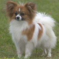 Papillon Dog Our Dogs Magazine Pedigree Dog Breeder Directory