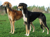 saluki dogs for sale