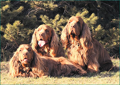 The Worlds Largest Ever Sussex Spaniel Gathering And Its In Sussex