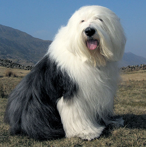 Dulux dog back after f...